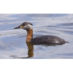 Red-necked Grebe. Photo by Dave Kutilek. All rights reserved