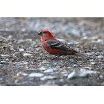 Pine Grosbeak. Photo by Bryan J. Smith. All rights reserved.