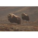 Two Musk Ox at Nome. Photo by Adam Riley. All rights reserved