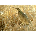 American Bittern. Photo by Rick Taylor. Copyright Borderland Tours. All rights reserved.