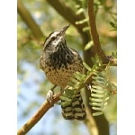 Cactus Wren. Photo by Rick Taylor. Copyright Borderland Tours. All rights reserved.