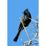 Phainopepla. Photo by Rick Taylor. Copyright Borderland Tours. All rights reserved.