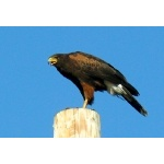 Harris's Hawk. Photo by Rick Taylor. Copyright Borderland Tours. All rights reserved.