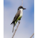 Thick-billed Kingbird. Photo by Rick Taylor. Copyright Borderland Tours. All rights reserved.