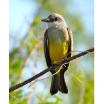 Tropical Kingbird. Photo by Rick Taylor. Copyright Borderland Tours. All rights reserved.