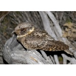 Buff-collared Nightjar. Photo by Rick Taylor. Copyright Borderland Tours. All rights reserved.