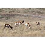 Pronghorn in the Sonoita Grasslands. Photo by Rick Taylor. Copyright Borderland Tours. All rights reserved.