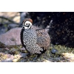 Montezuma Quail.  Photo by C. Allan Morgan. All rights reserved.
