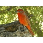 Hepatic Tanager. Photo by Rick Taylor. Copyright Borderland Tours. All rights reserved.