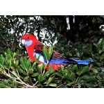 Crimson Rosella. Photo by Rick Taylor. Copyright Borderland Tours. All rights reserved.