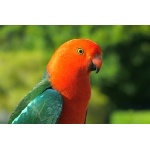 Australian King-Parrot close-up. Photo by Rick Taylor. Copyright Borderland Tours. All rights reserved.