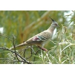 Crested Pigeon. Photo by Rick Taylor. Copyright Borderland Tours. All rights reserved.