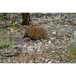Short-beaked Echidna. Photo by Mike West. All rights reserved.
