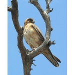 Brown Falcon. Photo by Rick Taylor. Copyright Borderland Tours. All rights reserved.