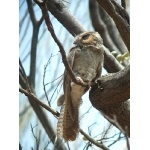 Australian Owlet-Nightjar. Photo by Rick Taylor. Copyright Borderland Tours. All rights reserved.
