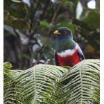 Collared Trogon. Photo by Dave Semler. All rights reserved.