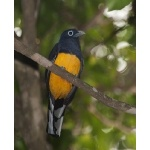White-tailed Trogon. Photo by Dave Semler. All rights reserved.