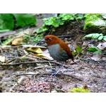 Bicolored Antpitta. Photo by Luis Uruena. All rights reserved.