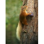 Red Squirrel. Photo by Rick Taylor. Copyright Borderland Tours. All rights reserved.