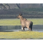 Nilgai Bull. Photo by Rick Taylor. Copyright Borderland Tours. All rights reserved.