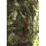 Spot-crowned Woodcreeper. Photo by Paul Cozza. All rights reserved.