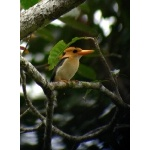 Yellow-billed Kingfisher. Photo by Rick Taylor. Copyright Borderland Tours. All rights reserved.