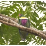 White-bibbed Fruit-Dove. Photo by Dave Semler. All rights reserved.