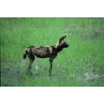 African Wild Dog. Photo by Jonathan Rossouw. All rights reserved.