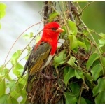 Red-headed Weaver. Photo by Adam Riley. All rights reserved.