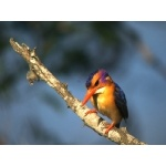 African Pygmy-Kingfisher. Photo by Rick Taylor. Copyright Borderland Tours. All rights reserved.