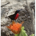 Scarlet-chested Sunbird. Photo by Marsha Steffen and Dave Semler. All rights reserved.