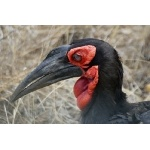 Southern Ground-Hornbill. Photo by Marsha Steffen and Dave Semler. All rights reserved.