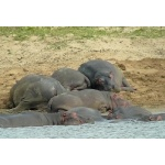 Hippos. Photo by Rick Taylor. Copyright Borderland Tours.