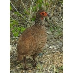 Swainson's Francolin. Photo by Rick Taylor. Copyright Borderland Tours. All rights reserved.