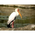 Yellow-billed Stork. Photo by Adam Riley. All rights reserved.