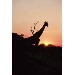 Giraffe. Photo by Jonathan Roussouw. All rights reserved.