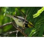 Migrating Black-throated Green Warbler. Photo by Rick Taylor. Copyright Borderland Tours. All rights reserved.