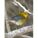 Prothonotary Warbler, usually a common species in a spring