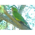Green Parakeet. Photo by Rick Taylor. Copyright Borderland Tours. All rights reserved.
