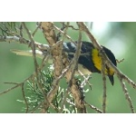 Golden-cheeked Warbler 2. Photo by Rick Taylor. Copyright Borderland Tours. All rights reserved.