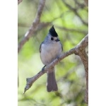 Black-crested Titmouse. Photo by Mark Rosenstein. All rights reserved.