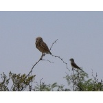 Burrowing Owl and Western Kingbird. Photo by Rick Taylor. Copyright Borderland Tours. All rights reserved.