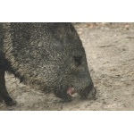 Collared Peccary. Photo by Joe Faulkner. All rights reserved.