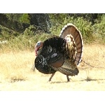 Wild Turkey tom. Photo by Rick Taylor. Copyright Borderland Tours. All rights reserved.