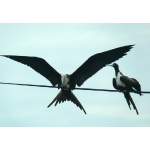 Magnificent Frigatebirds. Photo by Rick Taylor. Copyright Borderland Tours. All rights reserved.