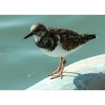 Ruddy Turnstone. Photo by Rick Taylor. Copyright Borderland Tours. All rights reserved.