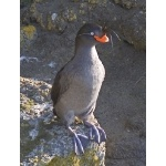 Crested Auklet. Photo by Dave Kutilek. All rights reserved.