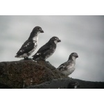 Least Auklets. Photo by Rick Taylor. Copyright Borderland Tours. All rights reserved.