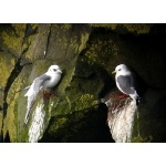 Red-legged Kittiwakes. Photo by Rick Taylor. Copyright Borderland Tours. All rights reserved.