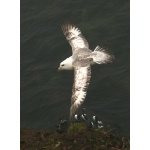 Northern Fulmar. Photo by Rick Taylor. Copyright Borderland Tours. All rights reserved.